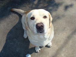 labrador is sitting on the pavement