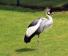 pride grey crowned crane