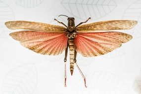 Insect Flying Wings drawing