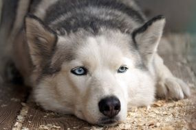 husky dog is resting on the floor