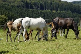 grazing herd of horses