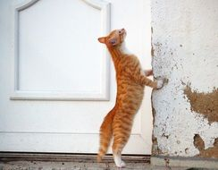 red cat staying on the hind legs