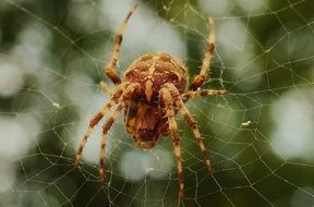 big brown spider in a spider web closeup