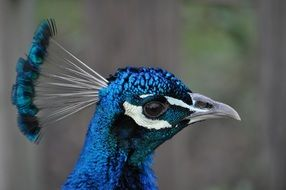 peacock head close up