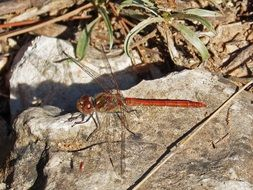 Natural Red Dragonfly