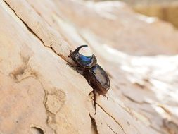 rhinoceros beetle in wildlife