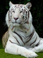 photo portrait of a white bengal tiger