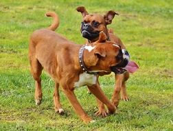 boxer dogs playing with each other