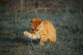 red young tabby cat cleaning up