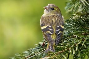 foraging cape canary bird