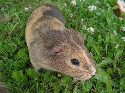 spotted guinea pig on a green meadow