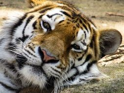 lurking relaxing tiger