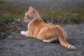 graceful red mackerel tabby cat