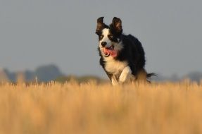 frisky border collie
