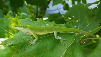 green anole on the leaf