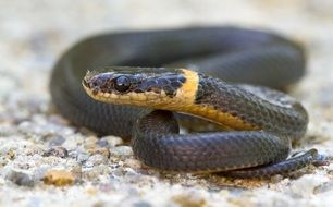 Ring-necked snake in wildlife