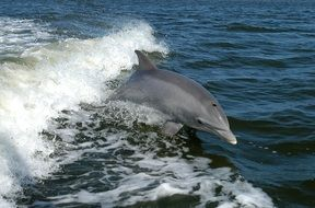 bottlenose dolphin in the sea fauna