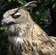 eagle-Owl, side view, head close up