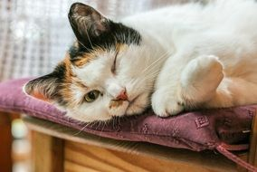 domestic cat lies relaxed on a chair