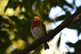 red robin on a branch