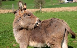 domestic donkey on pasture