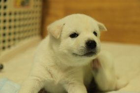 Korean Jindo puppy with white fur closeup