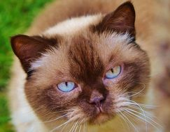 sweet cat with blue eyes