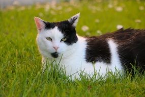 Beautiful black and white cat is lying on the meadow