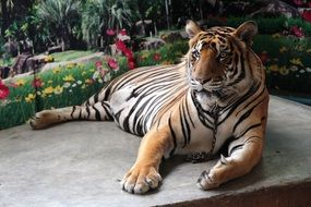 the tiger lies on a stone surface