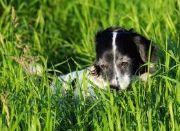 black and white dog relaxing in green grass