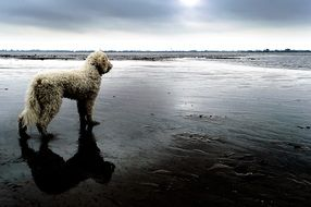 Goldendoodle, white Dog on wild Beach