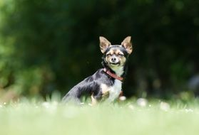 chihuahua sitting on green grass