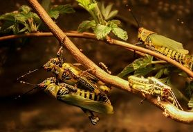grasshoppers mating on a branch