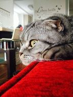 Scottishfold close up