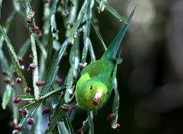 green parakeet in wildlife