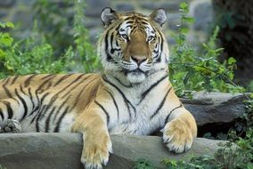 Siberian tiger is resting in the aviary