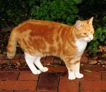 red domestic cat on the garden path