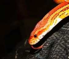 Closeup photo of Orange Corn Snake