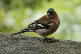 chaffinch on the tree branch