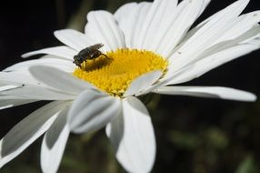 a fly on a white daisy on a meadow