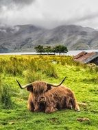 Highland Cow Cow Scotland Cattle