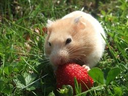Hamster Golden eating strawberries