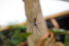 orb-weaver Spider on cobweb