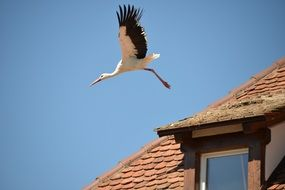 Stork flies over the house