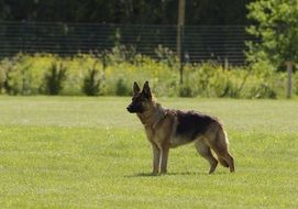 German Shepherd on meadow