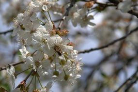 White fruit blossom tree