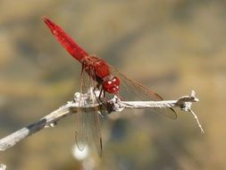 deliciously beautiful Red Dragonfly