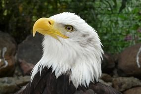 eagle yellow beak