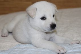 Korean Jindo Dog Puppy with white fur on blanket