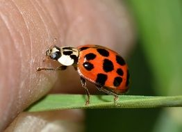 lucky ladybug on the blade of grass
